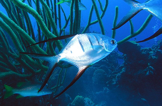 A beautiful Palometa fish Photo by: emily https://creativecommons.org/licenses/by-sa/2.0/