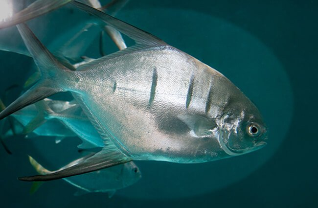 The Palometa is an ocean-going game fish Photo by: Brian Gratwicke https://creativecommons.org/licenses/by-sa/2.0/