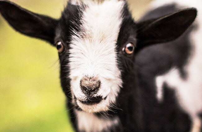 The cutest baby Pigmy GoatPhoto by: Elle E. Kay from Pixabayhttps://pixabay.com/photos/kid-goat-baby-baby-goat-cute-goat-2284915/
