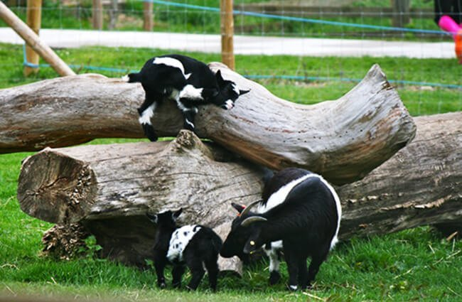 black and white baby Pygmy Goats Photo by: Glen Bowman https://creativecommons.org/licenses/by-sa/2.0/