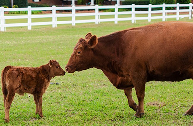 Red Angus cow and calf Photo by: U.S. Department of Agriculture [pubic domain] https://creativecommons.org/licenses/by/2.0/