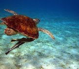 Sea Turtle With A Pair Of Remoras Tagging Along Photo By: Giorgio Galeotti Https://creativecommons.org/licenses/by/2.0/