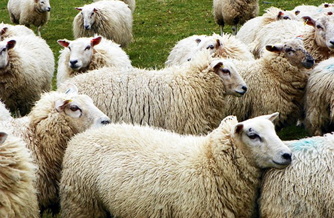 A herd of sheep Photo by: Peter O'Connor aka anemoneprojectors https://creativecommons.org/licenses/by-sa/2.0/