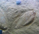 Two Sole Fish Camouflaged In The Sand Photo By: Neitram / Cc By-Sa (Https://creativecommons.org/licenses/by-Sa/4.0)