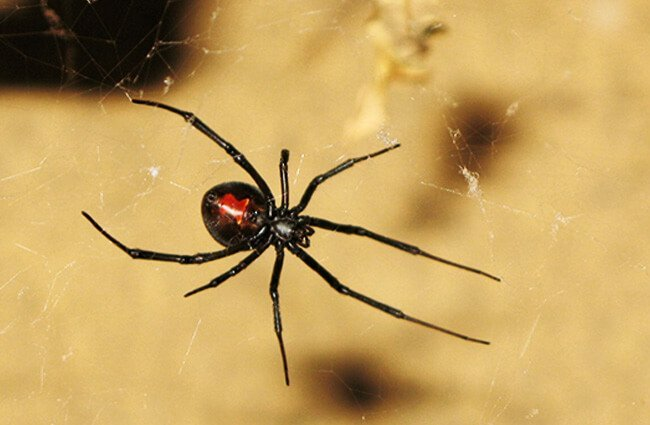 Redback Spiders, found throughout Australia Photo by: William https://creativecommons.org/licenses/by/2.0/