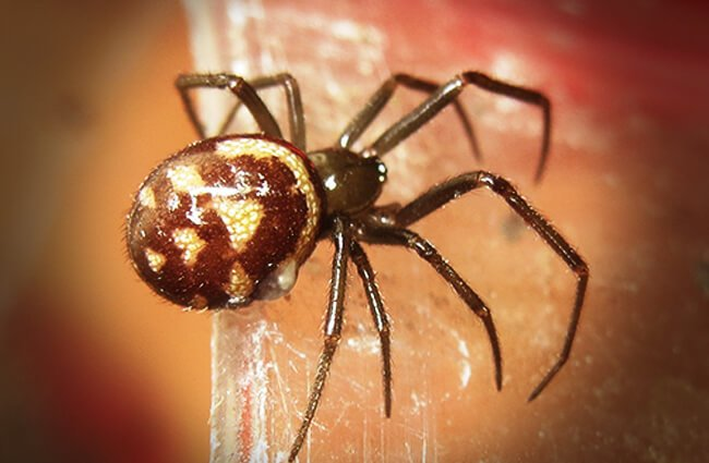 Cupboard Spider, or Brown House Spider Photo by: David Short https://creativecommons.org/licenses/by/2.0/