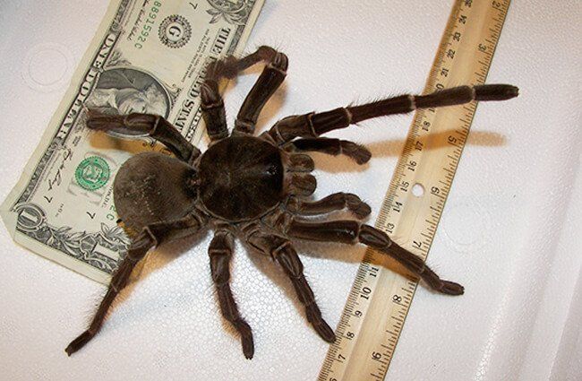 This is a male Goliath Birdeater tarantula Photo by: John https://creativecommons.org/licenses/by/2.0/