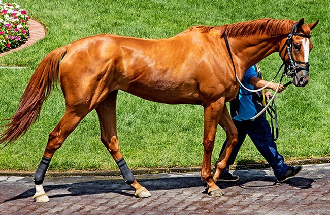 Chestnut Thoroughbred walking at the track Photo by: Rennett Stowe https://creativecommons.org/licenses/by/2.0/