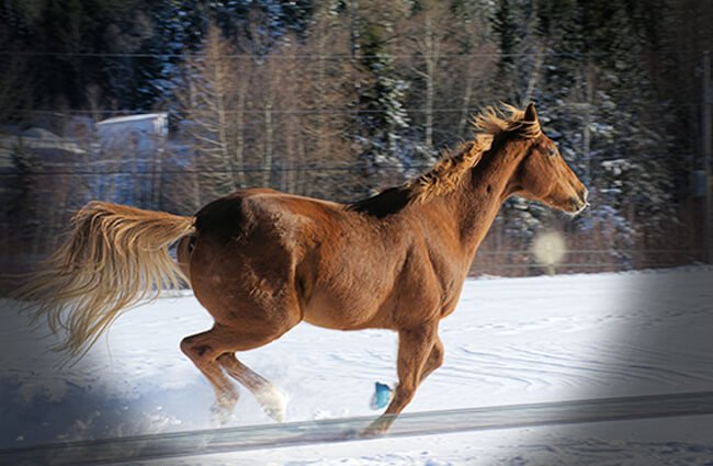 Thoroughbred galloping in the snow Photo by: Teresa Alexander-Arab https://creativecommons.org/licenses/by/2.0/