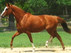 A stunning Thoroughbred horse trottingPhoto by: lovelychristy02https://creativecommons.org/licenses/by/2.0/